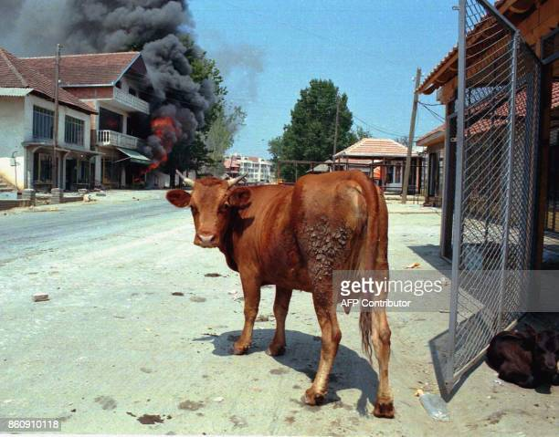 A cow gazes at the camera in front of a burning house in Malishevo Kosovo 04 August after the building was set ablaze by unidentified people...