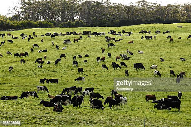 Cow graze in a pasture at a dairy farm operated by Van Diemen's Land Co in Woolnorth Tasmania Australia on Monday May 30 2016 Tasmanianbranded...