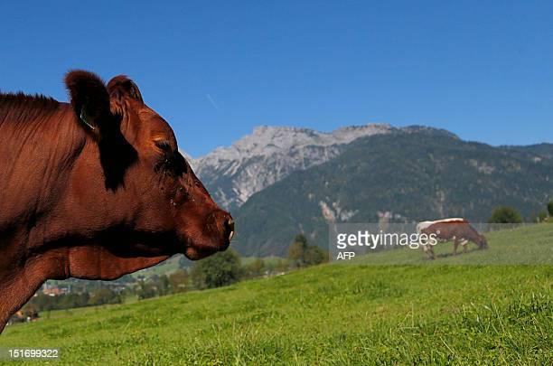 Cow grazes in a field in Saalfelden, near Salzburg, some 400km west of Vienna on September 9, 2012. AFP PHOTO / ALEXANDER KLEIN