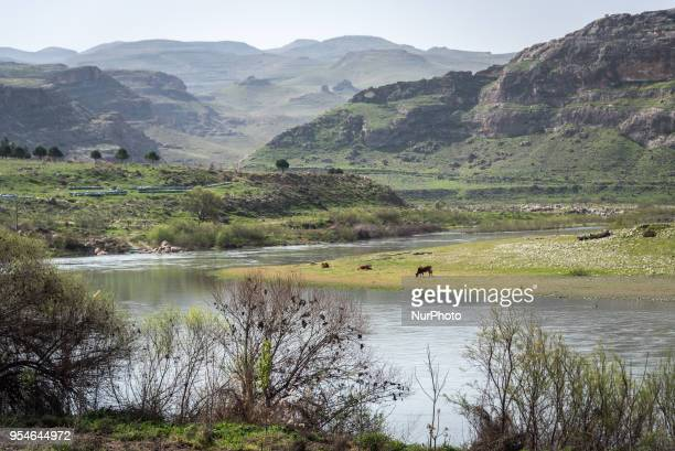 A cow grazes in pasture on the banks of the Tigris River in the Batman Province in southeastern Turkey This area of the Tigris Valley will soon be...