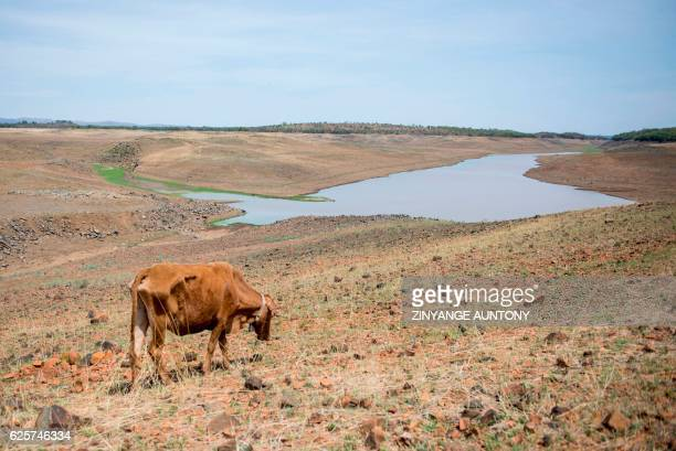 Cow grazes in the dry area of the decommissioned Upper Ncema Dam which is now below 2 percent of its capacity on November 24, 2016 at Esigodini,...