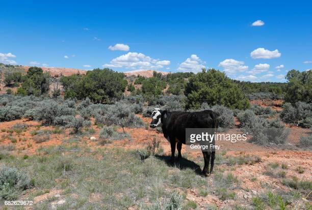 BLANDING UT MAY 12 A cow grazes on the land in the Bears Ears National Monument on May 12 2017 outside Blanding Utah Many locals fear the new...