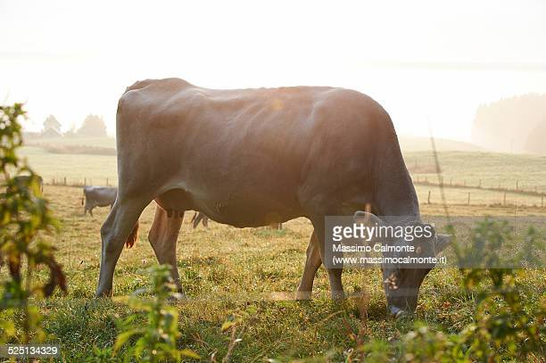 Cow grazing at dawn