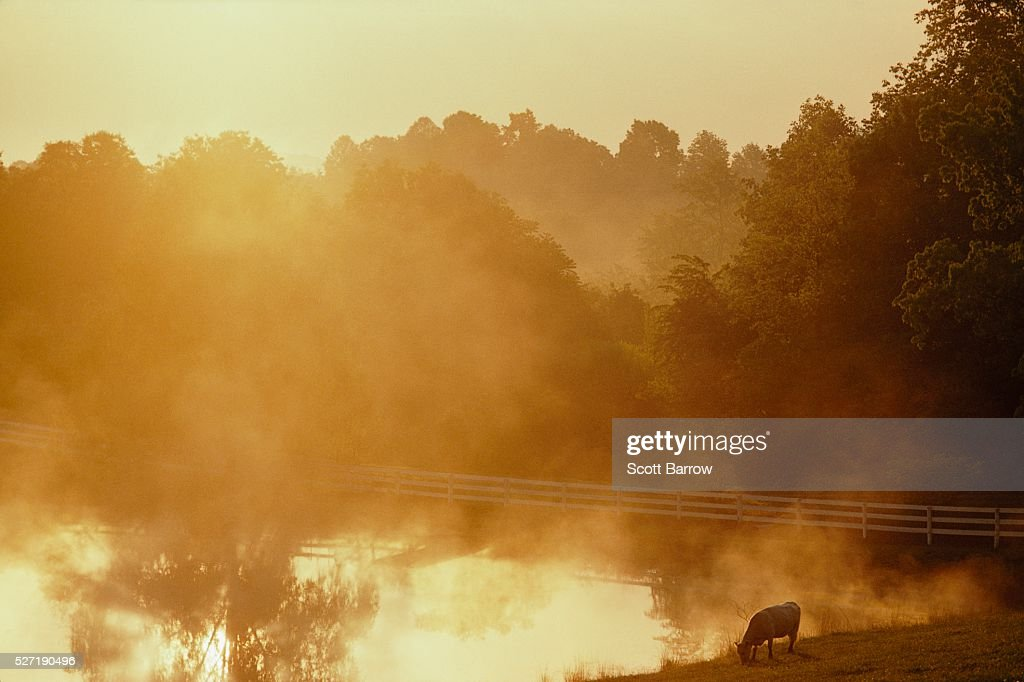 Cow grazing by a pond : Stockfoto
