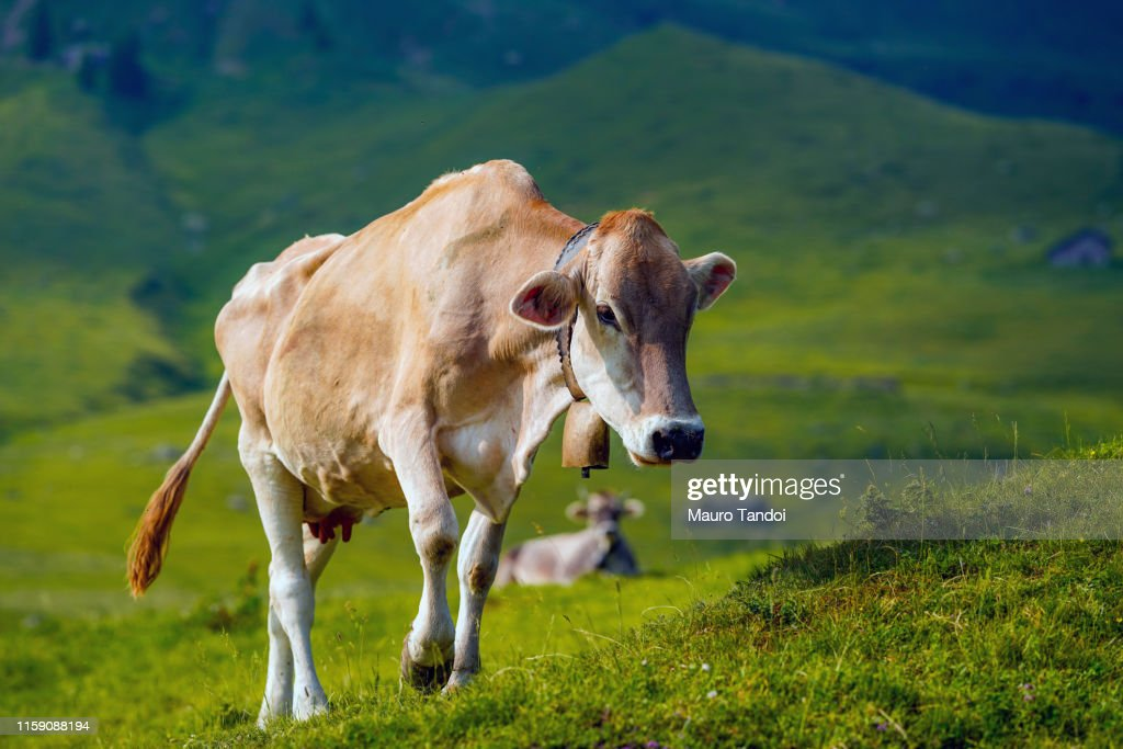 Cow grazing in an open meadow, Bergamo Mountains, Italy : Foto stock