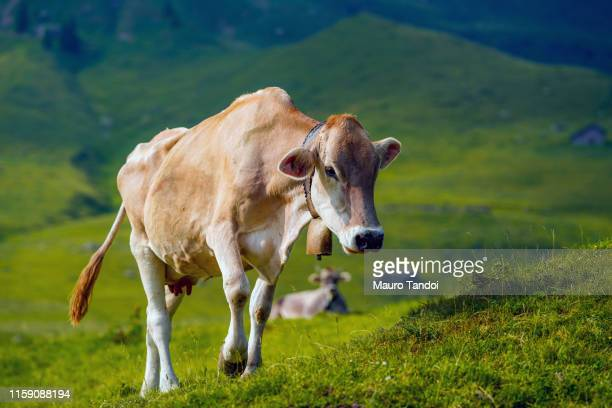 cow grazing in an open meadow, bergamo mountains, italy - mauro tandoi stock pictures, royalty-free photos & images