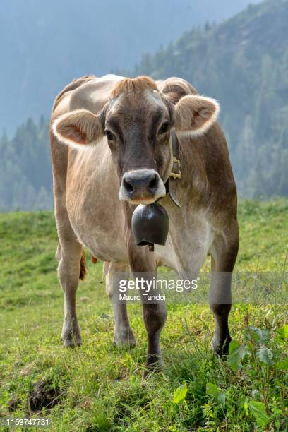 cow (pardo-alpina breeds) grazing in an open meadow, bergamo mountains, italy - mauro tandoi foto e immagini stock
