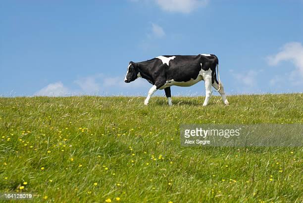 Cow grazing in green field, England