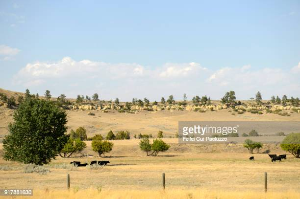Cow grazing in the field at Billings, Montana, USA