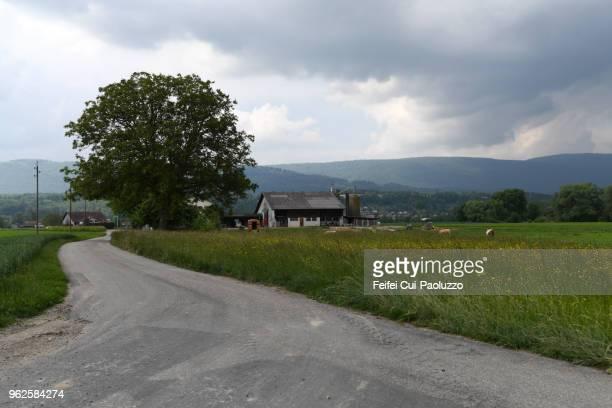cow grazing in the field at meienried, switzerland - bedeckter himmel stock-fotos und bilder