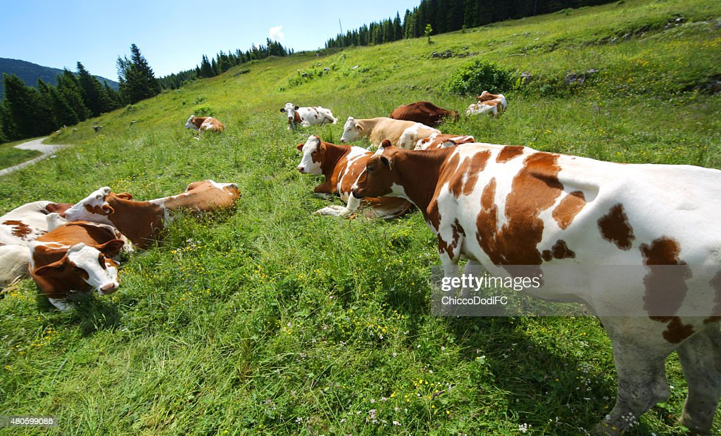cow grazing in the meadow in the mountains : Stock Photo