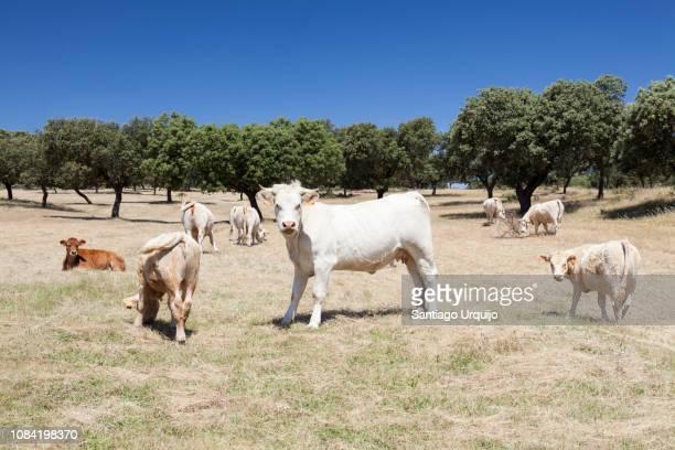 Cow grazing on a dehesa