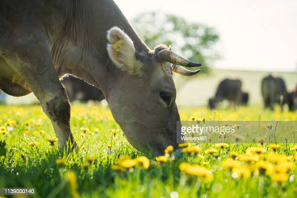 cow grazing on a meadow with dandelions - grazing stock pictures, royalty-free photos & images