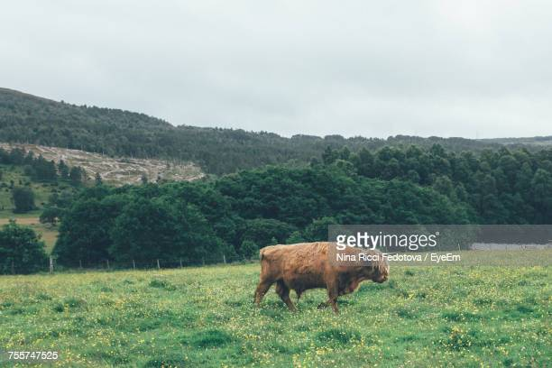 Cow Grazing On Field Against Sky