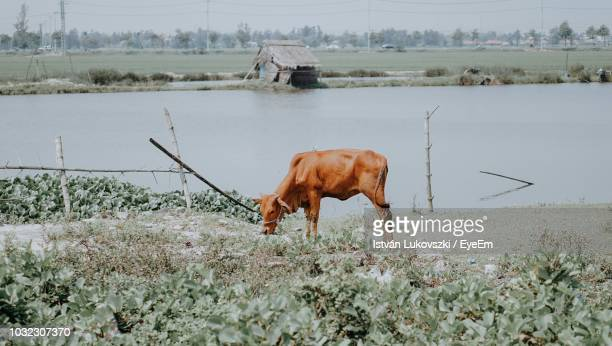 cow grazing on field by lake - herbivorous stock pictures, royalty-free photos & images