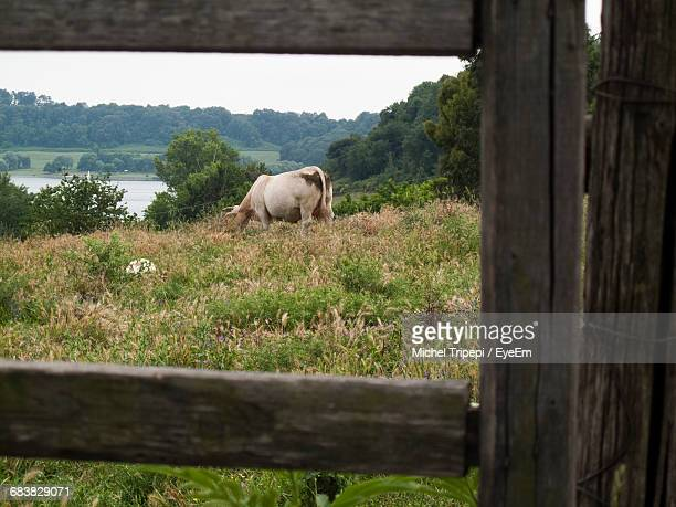 Cow Grazing On Field Seen Through Wooden Fence