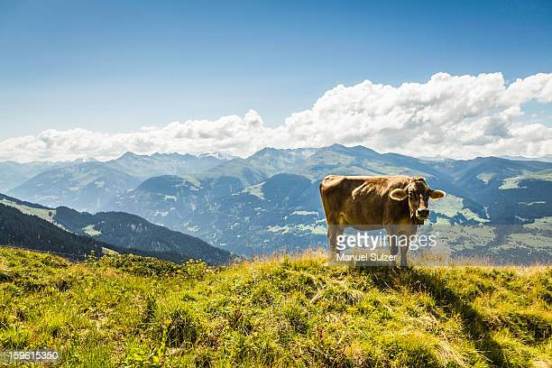 Cow grazing on grassy hillside