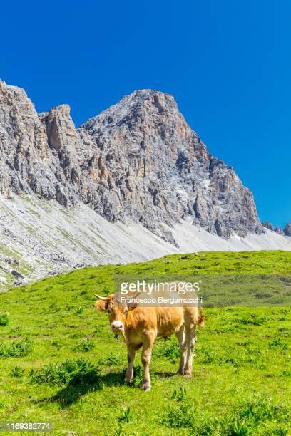 cow grazing on the grass in the alps. - erbivoro foto e immagini stock