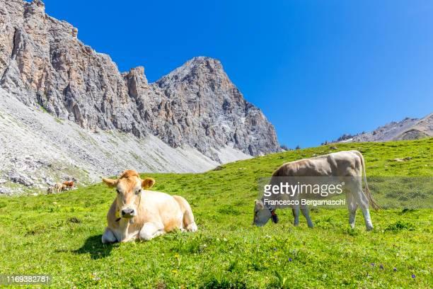 cow grazing on the grass in the alps. - viehweide stock-fotos und bilder
