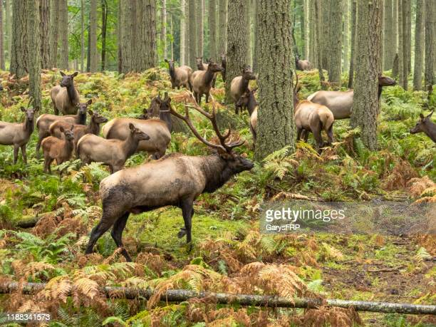 cow harem with elk bull forest trees ferns pacific northwest - animal behavior stock pictures, royalty-free photos & images