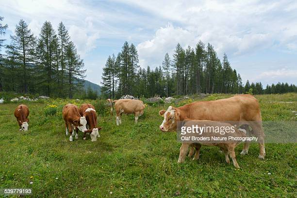 Cow herd with youngster suckling