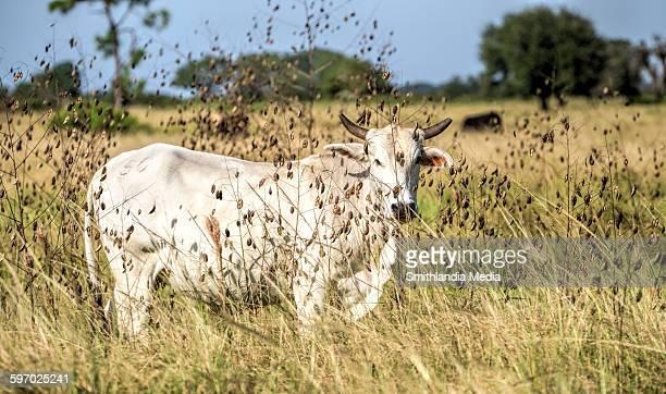 Cow hidden in plain sight