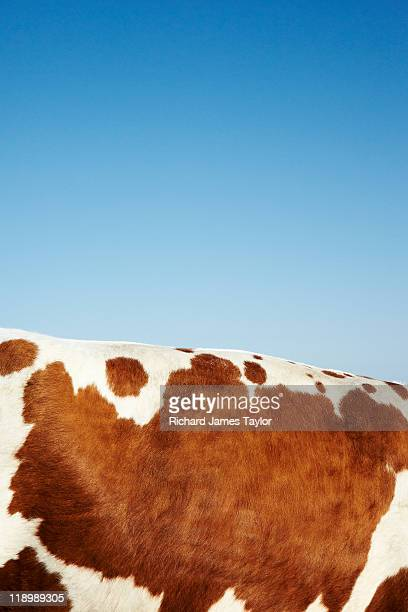cow hide - cowhide stock photos and pictures