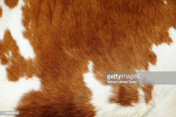 cow hide - fur stock pictures, royalty-free photos & images