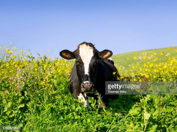 cow in a field looking at camera - cow eyes stock pictures, royalty-free photos & images