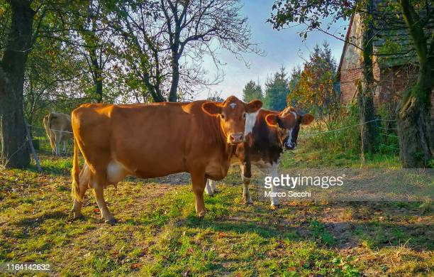 cow in a field - marco secchi stock photos and pictures