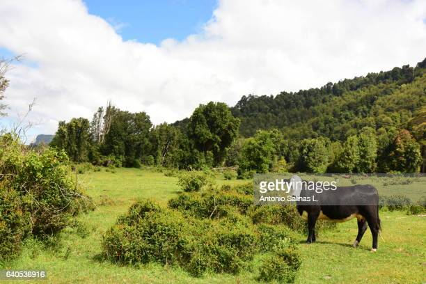 cow in a meadow. chile - chilean lake district stock photos and pictures