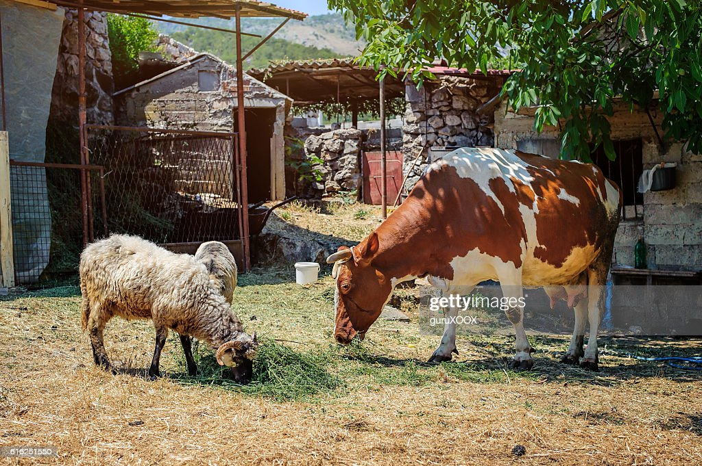 Cow in a mountain village : Stock Photo