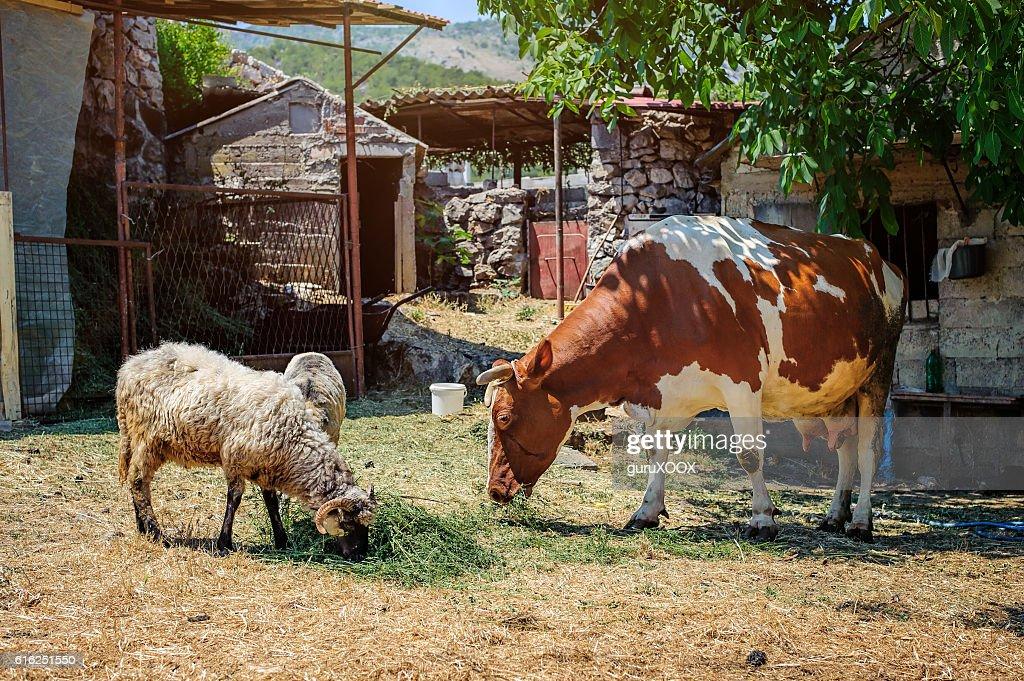 Vaca en un mountain village : Foto de stock