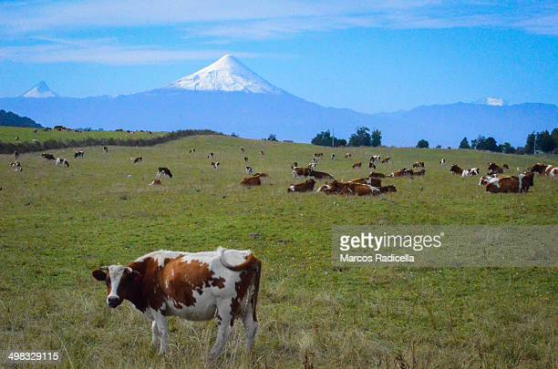 cow in a patagonic country field - radicella stock photos and pictures