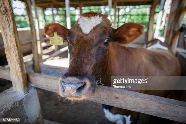 Cow in a stable in Kakamega County on May 16 2017 in Kakamega County Kenya
