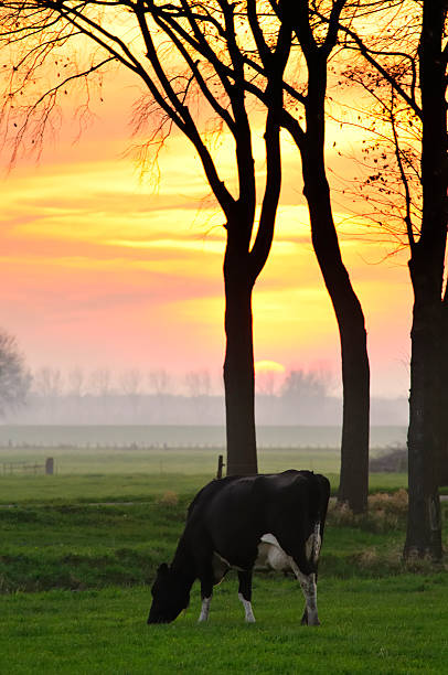 Cow In A Sunset Wall Art