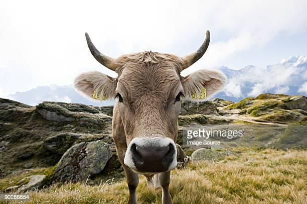 Cow in a swiss field