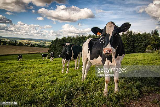 cow in de field - ardennes department france stock photos and pictures