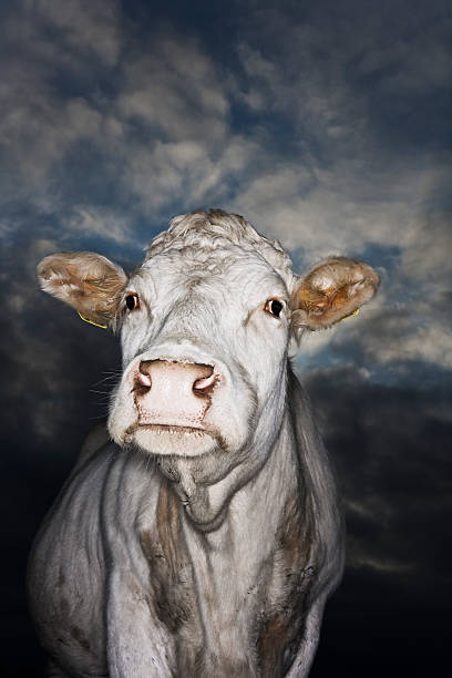 Cow in evening light