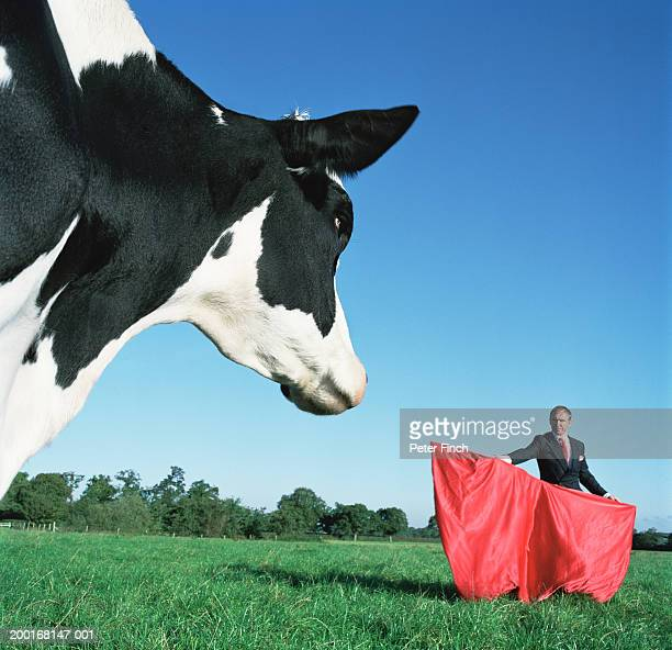 Cow in field, by businessman holding matador cape, close-up of cow