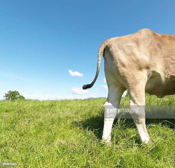cow in field, rear only, side view - knackiger po stock-fotos und bilder