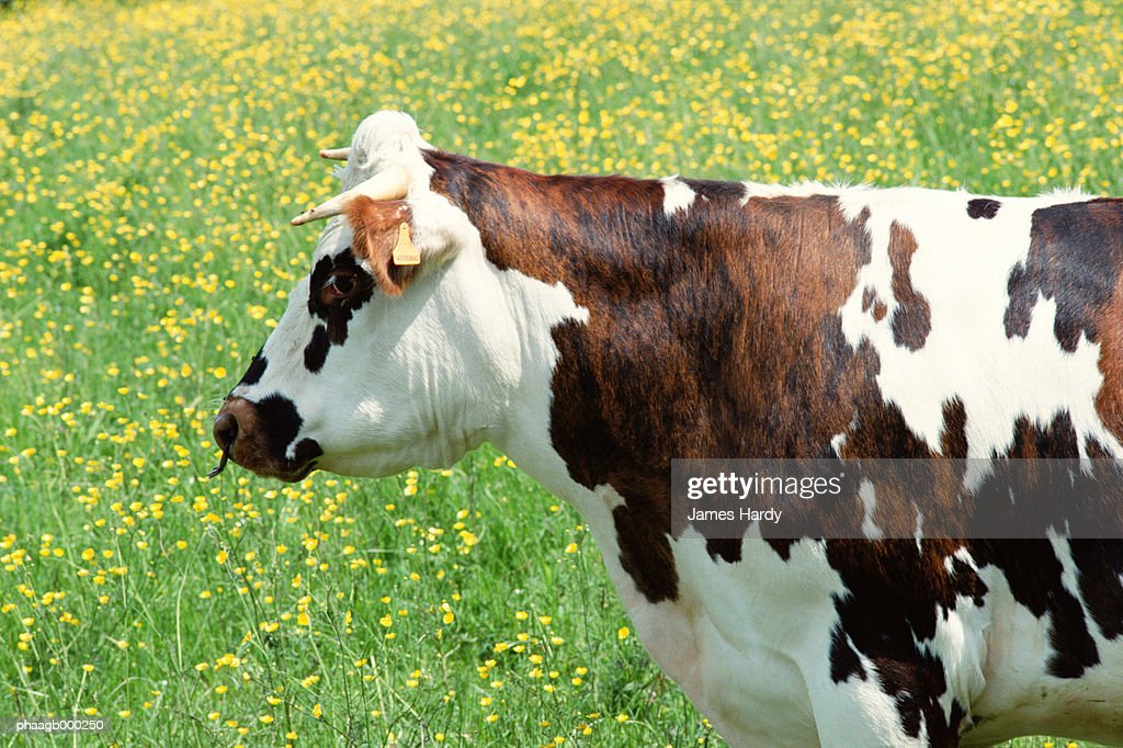 Cow in field, side view : Stockfoto