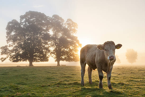 Cow in Field, Sunrise, Usk Valley, South Wales, UK