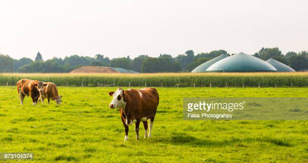 A cow in front of a biogas plant