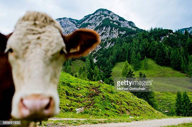 A cow in front of Mountains seen from a mountain meadow at Ascher Alm on July 23 2016 in Brandenberg Austria