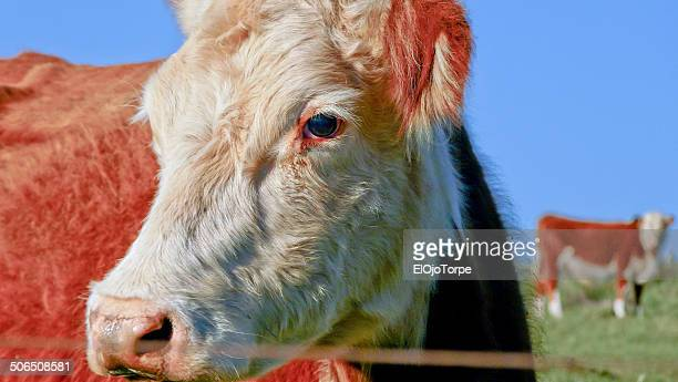 A cow in front of the camera, close the lens