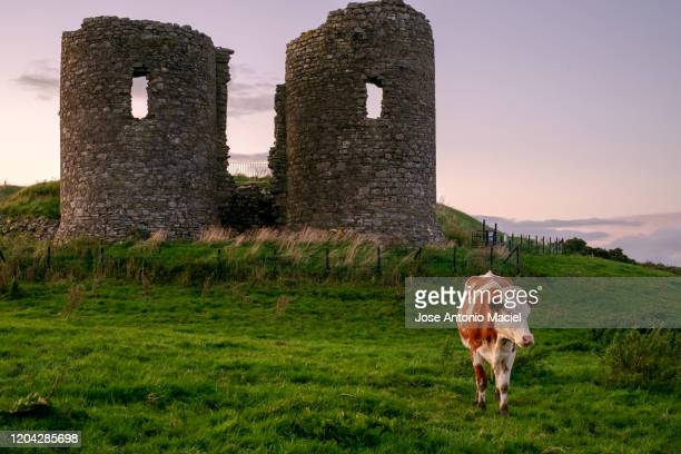cow in front of the castle's ruins in northern ireland at sunset - antiquities stock pictures, royalty-free photos & images