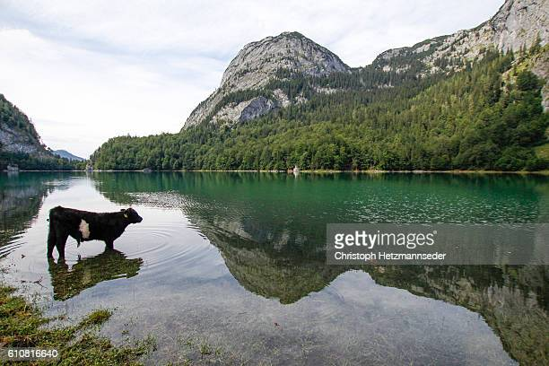 Cow in lake