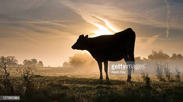 Cow in misty field at dawn