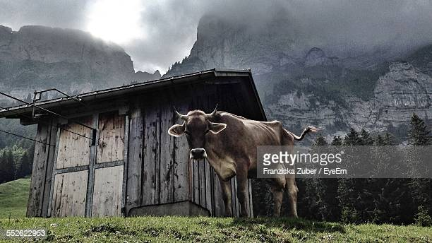 Cow In Pasture In Mountains